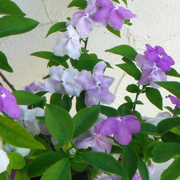 ニオイバンマツリ(ブルンフェルシア)4号鉢植え