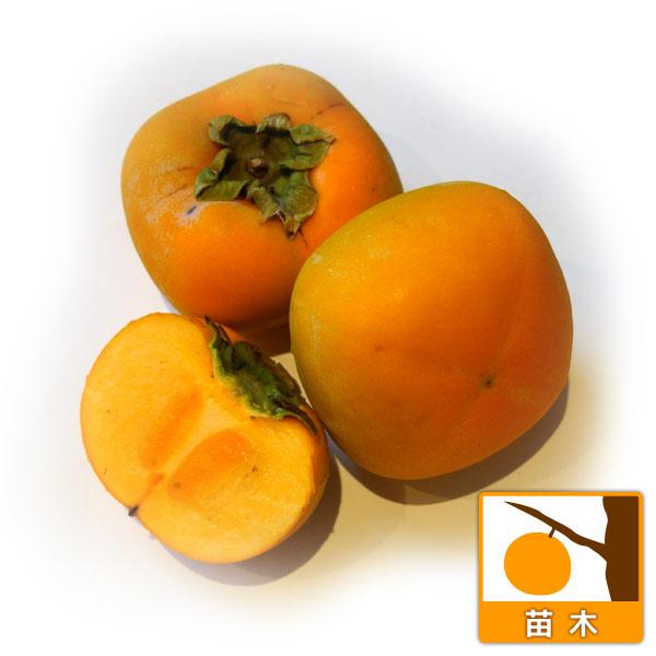 カキ(柿):ヒラタネナシ(平核無)4〜5号ポット