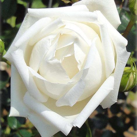 [長尺バラの大苗予約:第二弾]つるバラ:新雪 大苗長尺6号ポット