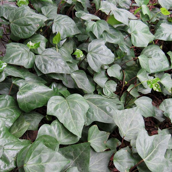 ヘデラ カナリエンシス(オカメヅタ):緑葉3〜3.5号2株セット