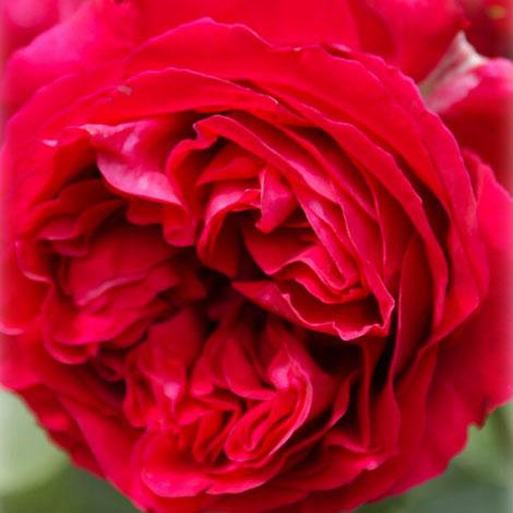 [長尺バラの大苗予約:第二弾]つるバラ:ルージュ・ピエール・ド・ロンサール大苗長尺6号ポット