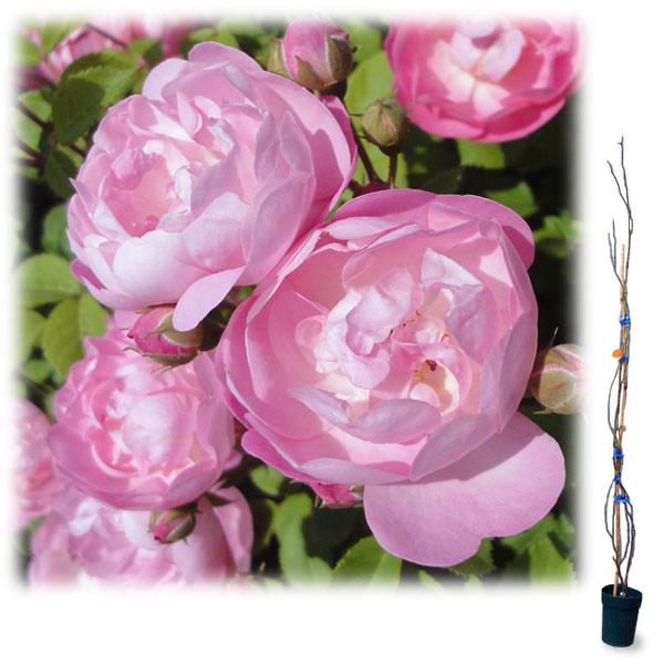 [長尺バラの大苗予約:第二弾]つるバラ:ローブリッター 大苗長尺6号ポット