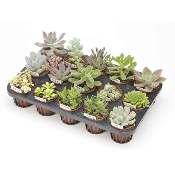 多肉植物15株セット(7.5cmポット)