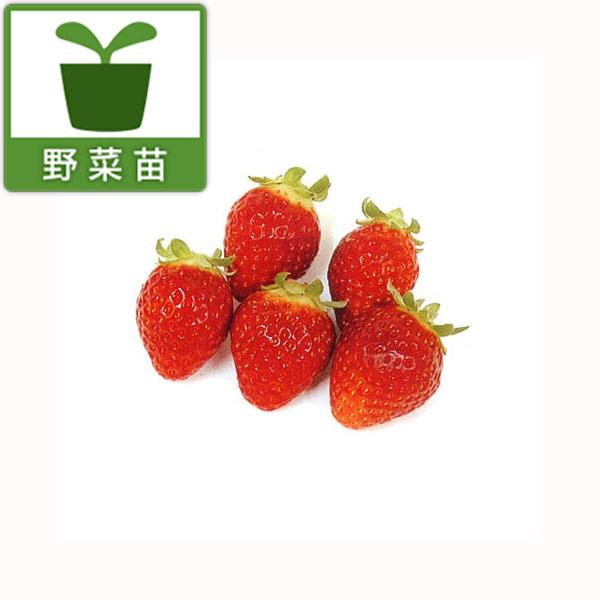 イチゴ:レッドパール3.5号ポット3株セット