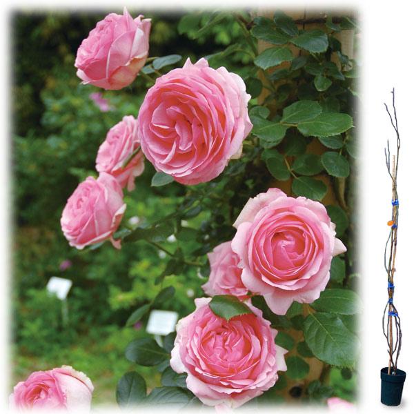 [長尺バラの大苗予約:第二弾]つるバラ:ヒストリー大苗長尺6号ポット