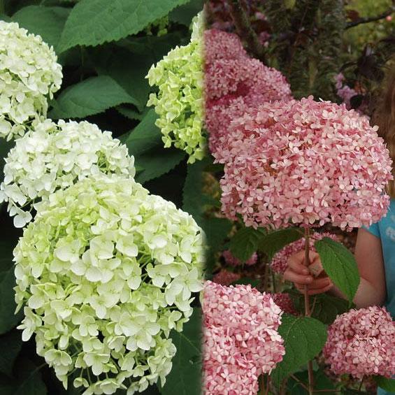 アジサイ:アナベル2種セット(白花・ピンク花)