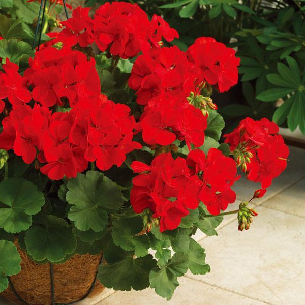 ゼラニウム:カリオペダークレッド5号鉢植え5株セット