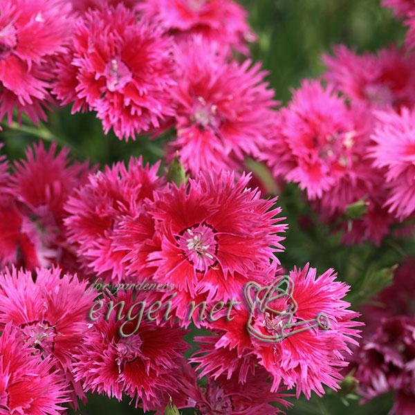 カワラナデシコ:赤花八重咲河原ナデシコ3号ポット