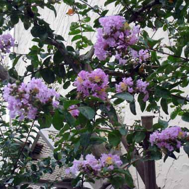 サルスベリ:紫花7号ポット樹高1.2〜1.5m