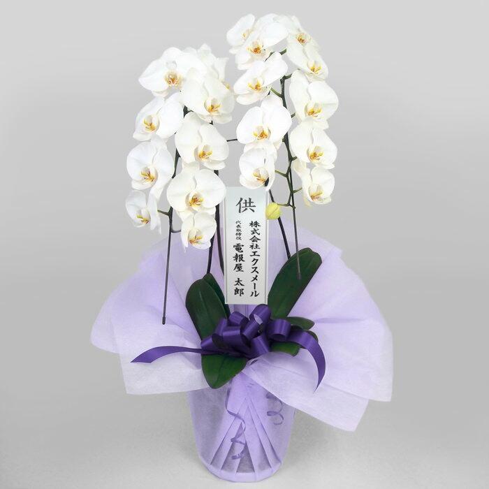 特選胡蝶蘭 2本立 白