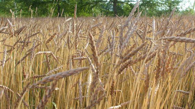 北海道由仁町 【ふるさと納税】岩崎農園 スペルト小麦粉 3袋