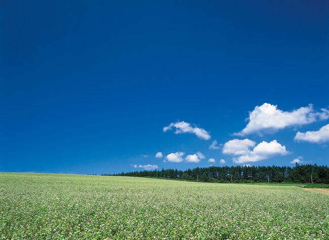 7月下旬、一面に広がるそば畑