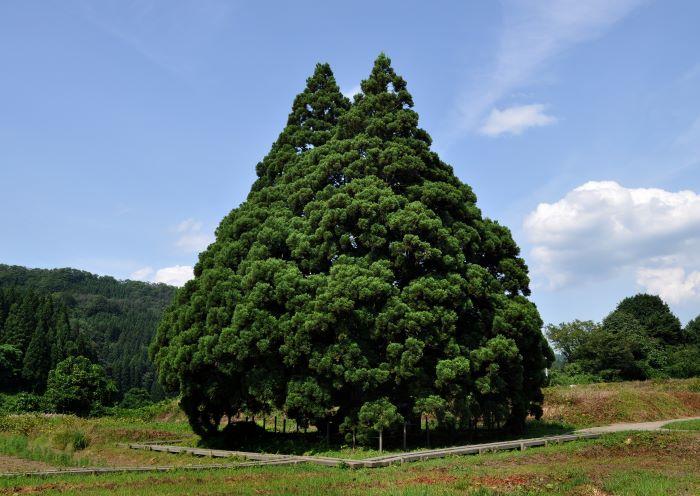 小杉の大杉(通称トトロの木)
