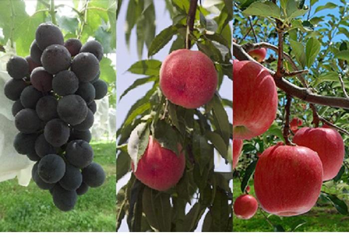 福島県桑折町 【ふるさと納税】桑折季節の果物セット