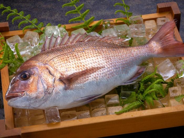 天然真鯛にも負けない旨味の「敦賀真鯛」