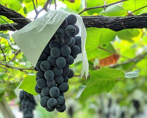日本固有の黒ブドウ「マスカットベーリーA」