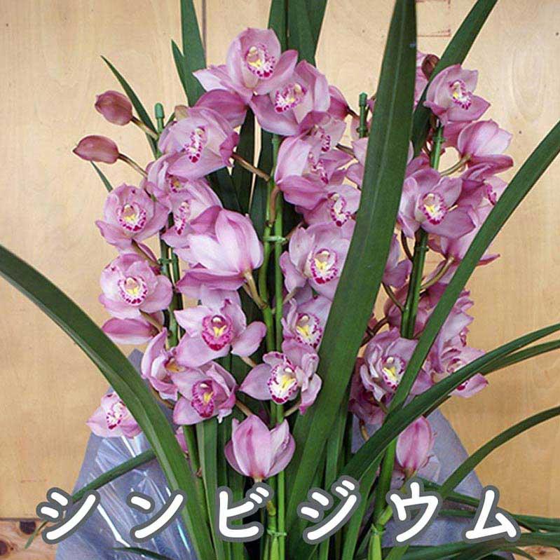 長野県小布施町 【ふるさと納税】 お花屋さんが選ぶシンビジウム(ラッピング付き)