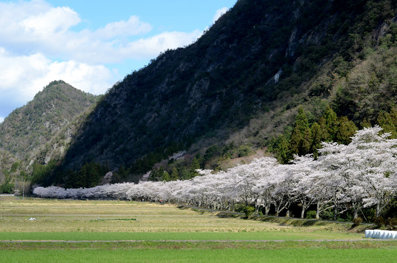 里山資源となる得る山と桜並木と田園風景