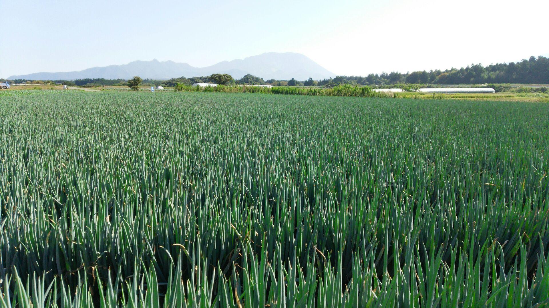 鳥取県大山町 【ふるさと納税】MS-28 大山の純白ねぎ(3kg)【春ねぎ4〜5月発送分】