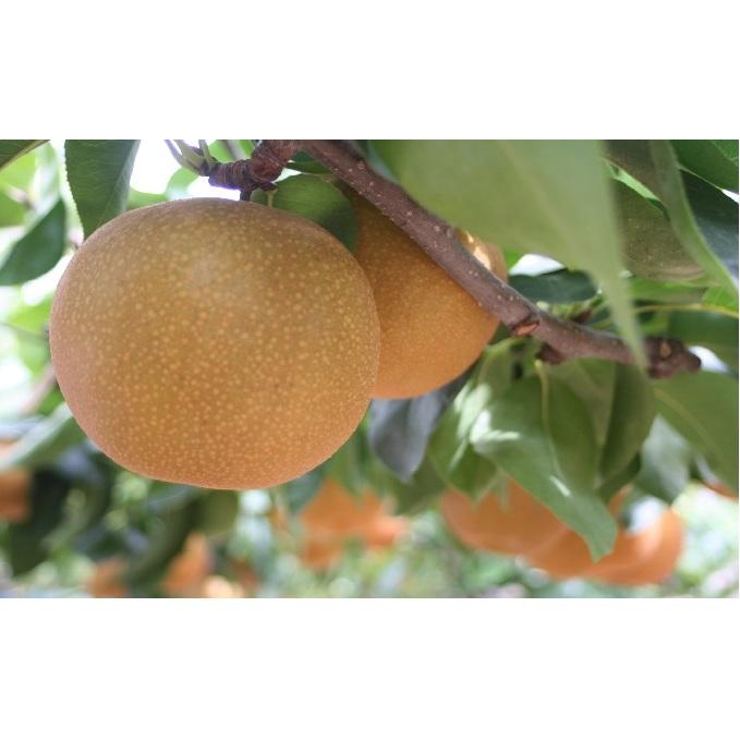 ふるさと納税 小俣果樹園 錦の梨(5kg)