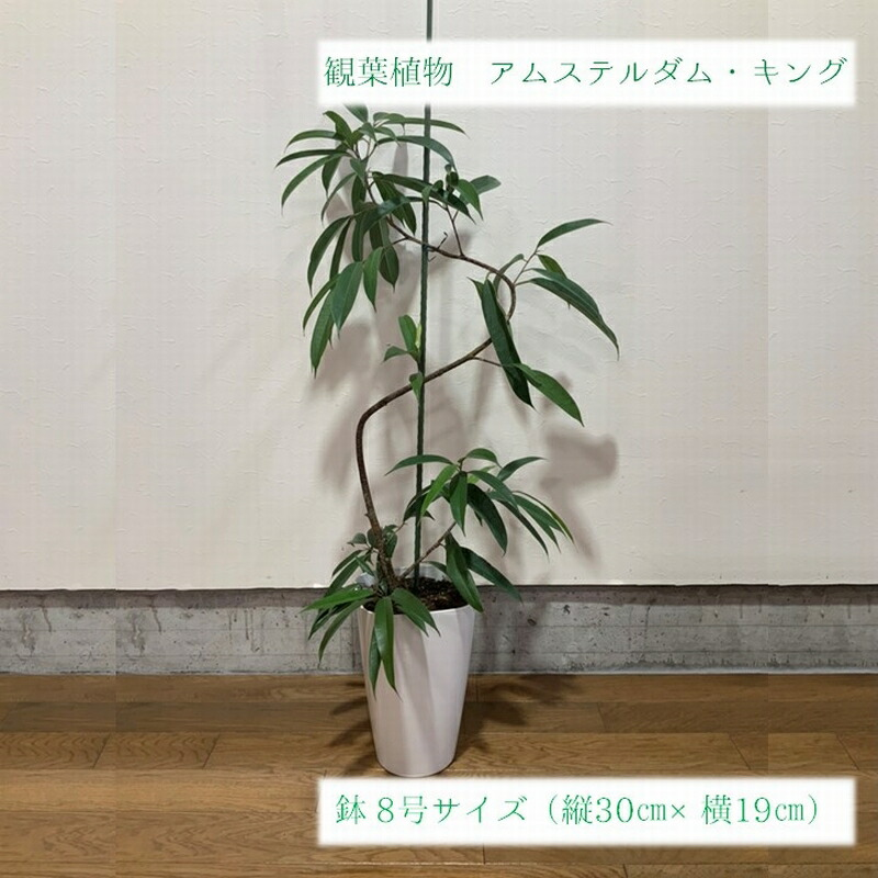 鹿児島県南九州市 【ふるさと納税】観葉植物 アムステルダム・キング 1鉢