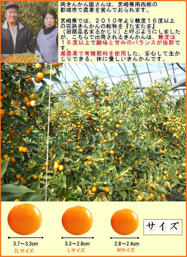 南きんかん 完熟きんかん たまたま 宮崎園さんは、宮崎県南西部の都城市で農家を営んでおられます。宮崎県では、2010年より糖度16度以上の完熟きんかん 完熟きんかん たまたま 宮崎の総称を『たまたま』(旧商品名まるかじり)と呼ぶようにしましたが、こちらで出荷されるきんかん 完熟きんかん たまたま 宮崎は、糖度は16度以上で酸味と甘みのバランスが抜群です。減農薬で有機肥料を使用した、安心して生かじりできる、体に優しいきんかん 完熟きんかん たまたま 宮崎です。