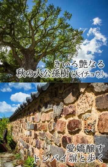有田の大イチョウとトンバイ塀の街並み