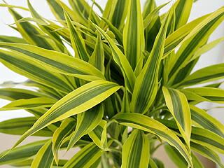観葉植物 万年竹(ミリオンバンブー) スクエア陶器鉢植え 葉の拡大