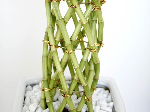 観葉植物 万年竹(ミリオンバンブー) スクエア陶器鉢植え 茎の拡大