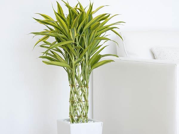 観葉植物 万年竹(ミリオンバンブー) ロングスクエア陶器鉢植え イメージ