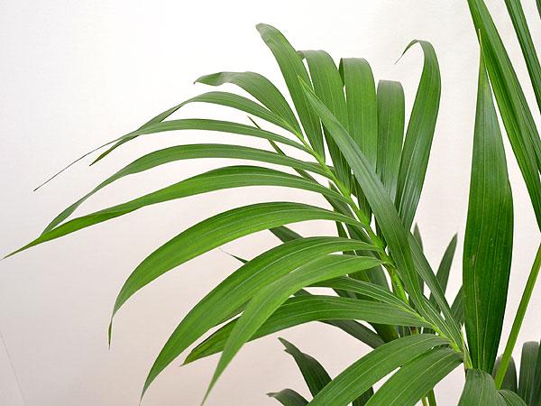 観葉植物 ケンチャヤシ スクエア陶器鉢植え 8号サイズ 葉の拡大