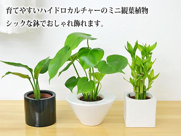 ミニ観葉植物ハイドロカルチャー陶器全色
