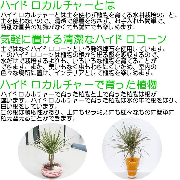 ミニ観葉植物ハイドロカルチャー説明
