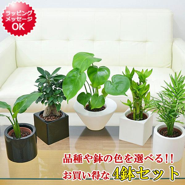 ミニ観葉植物ハイドロカルチャー