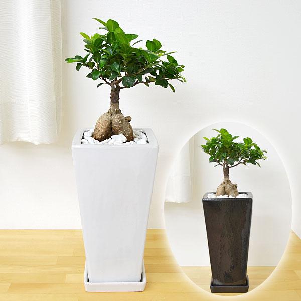ガジュマル スクエア陶器鉢植え