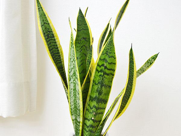 サンスベリア 陶器鉢植え 葉の拡大