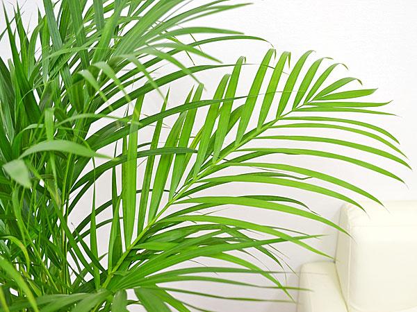 観葉植物アレカヤシ ロングスクエア陶器鉢植え 8号 葉の拡大
