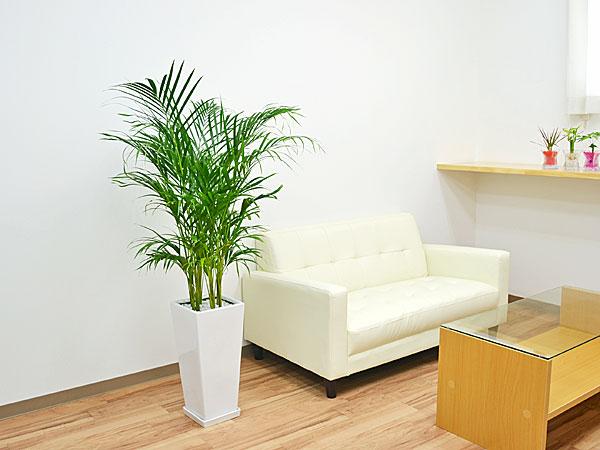 観葉植物アレカヤシ ロングスクエア陶器鉢植え 8号 イメージ