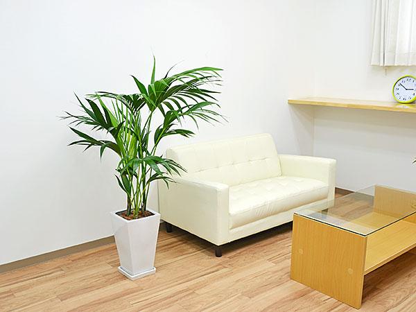 観葉植物 ケンチャヤシ スクエア陶器鉢植え 8号サイズ イメージ