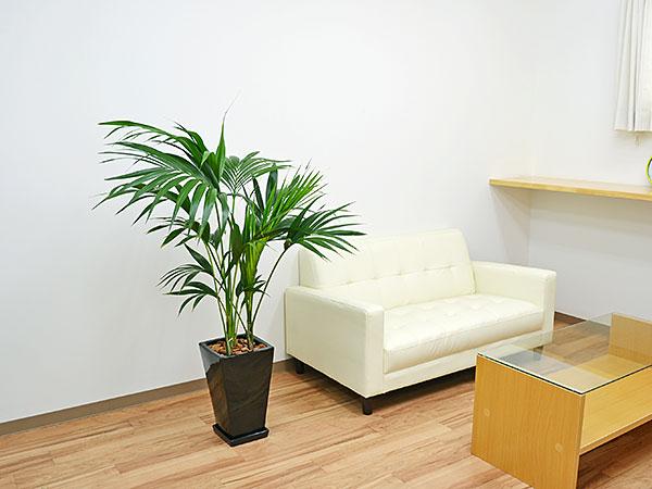 観葉植物 ケンチャヤシ スクエア陶器鉢植え 8号サイズ 設置イメージ