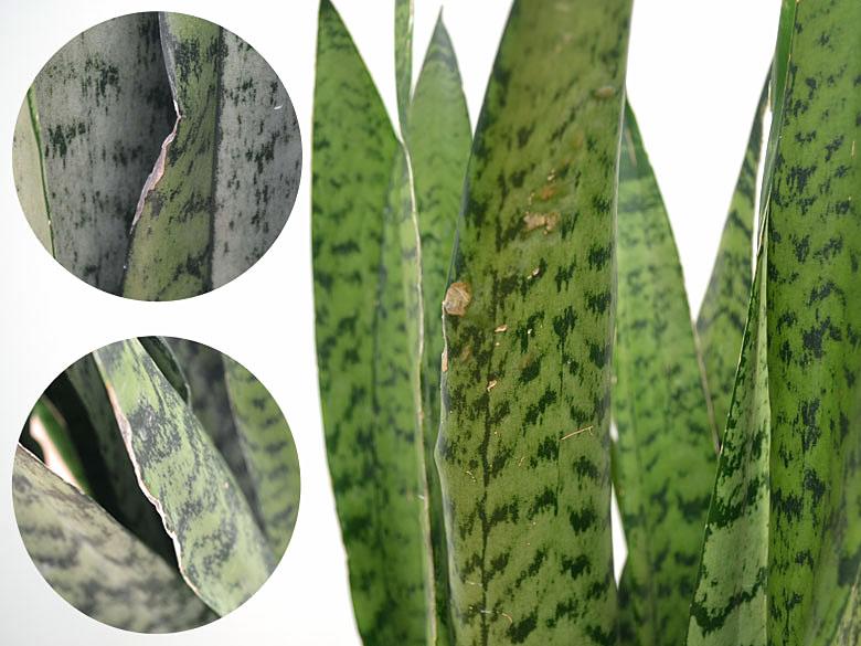 サンスベリア・ゼラニカの葉のキズ拡大