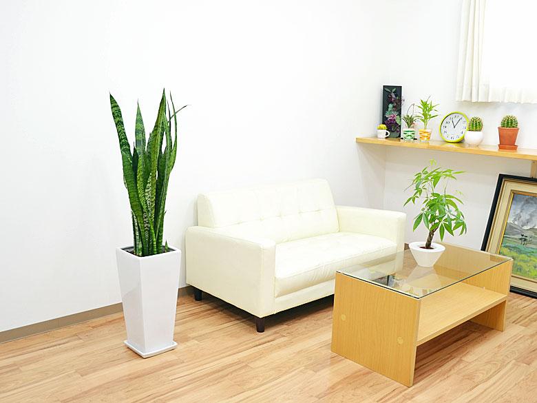 観葉植物 サンスベリア・ゼラニカ ロングスクエア陶器鉢植え BIGサイズ 設置イメージ