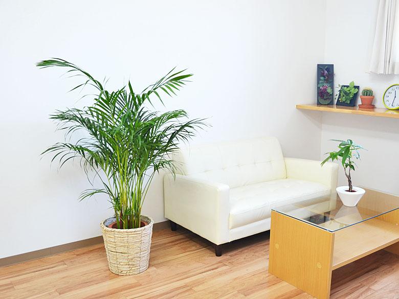観葉植物 アレカヤシ 8号 鉢カバー付き 設置イメージ
