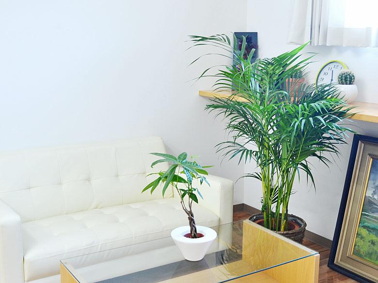 観葉植物 アレカヤシ 8号 鉢カバー付き イメージ2