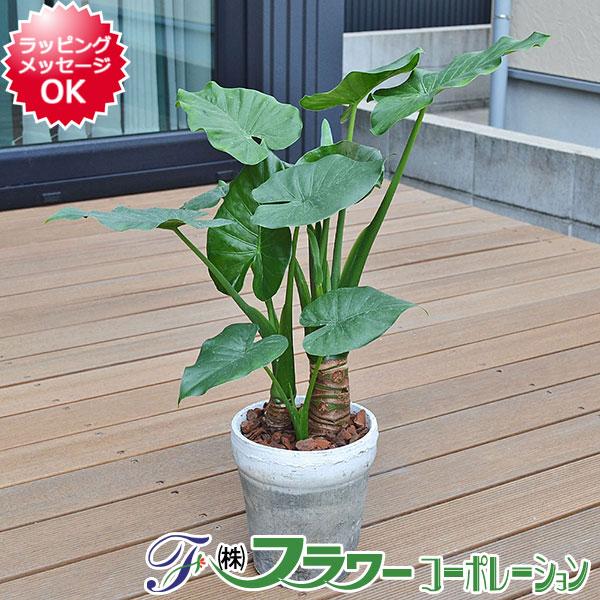【送料無料】観葉植物 クワズイモ 陶器鉢植え