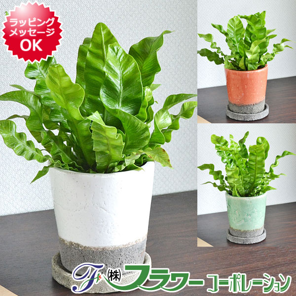【送料無料】観葉植物 エメラルドウェーブ(アスプレニウム タニワタリ) 陶器鉢植え