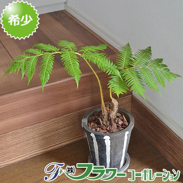 【送料無料】観葉植物 ヒカゲヘゴ 陶器鉢植え