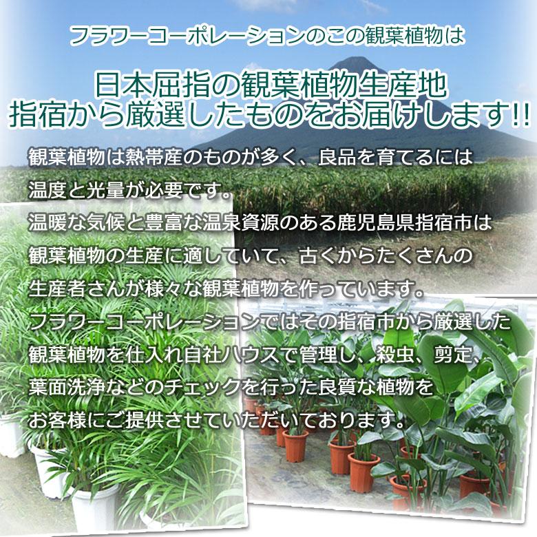 指宿の観葉植物説明