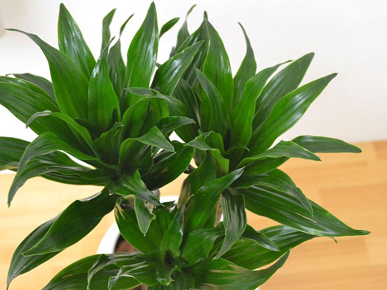 ドラセナ・コンパクタの葉の拡大