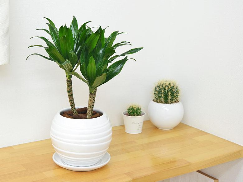 観葉植物 ドラセナ・コンパクター ボール型陶器鉢植え 5号 設置イメージ